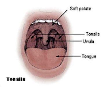 Миндалины в ротовой полости